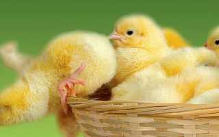 К чему снятся цыплята: сонник
