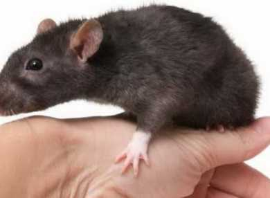 К чему снятся крысы или мыши: сонник