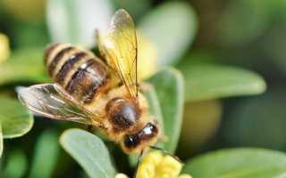 К чему снятся пчелы: трактуем значение сна