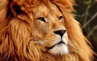 К чему снится лев: сонник