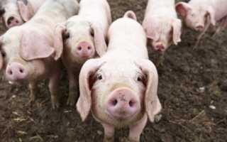 К чему снится свинья: сонник