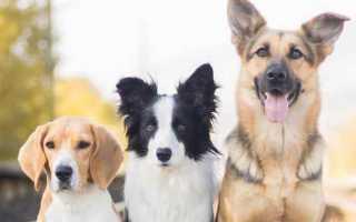 К чему снится собака или щенок: сонник