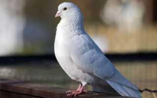 К чему снятся голуби: сонник