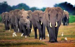 К чему снится слон: трактуем значение сна