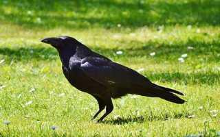 К чему снится ворона: сонник