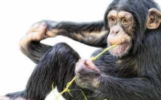 К чему снится обезьяна: трактуем значение сна