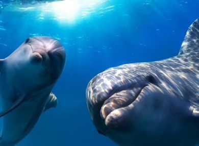 К чему снятся дельфины: сонник