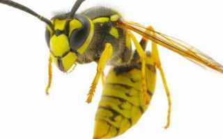 К чему снятся осы: трактуем значение сна