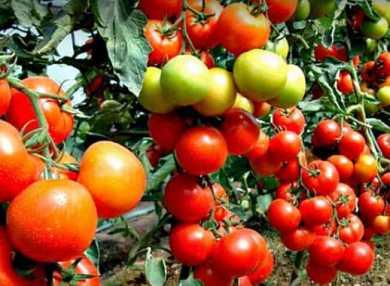 К чему снятся помидоры: сонник