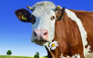К чему снится корова: трактуем значение сна