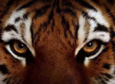К чему снится тигр: трактуем значение сна