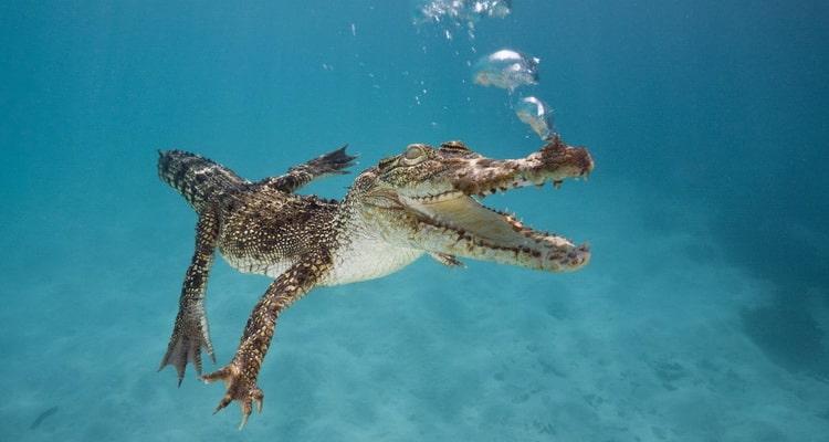к чему снятся крокодилы в воде