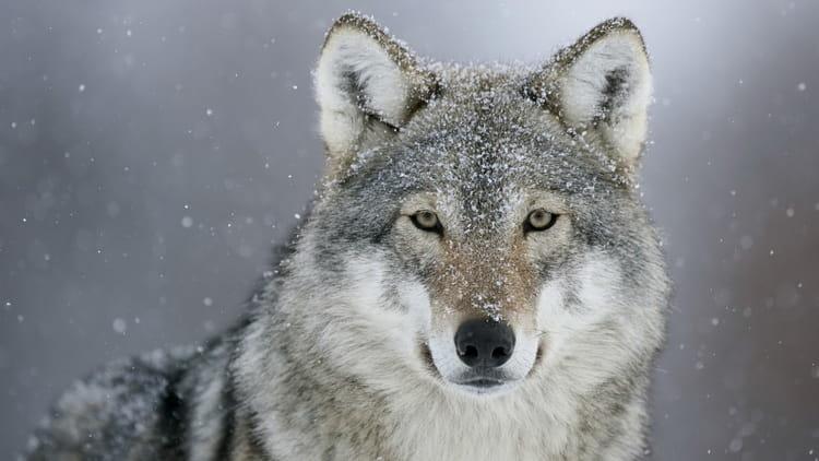 сонник к чему снятся волки