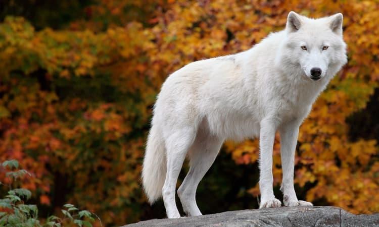 Белые волки во сне к чему снятся