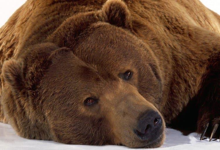 Поговорим о том, к чему снится бурый медведь.