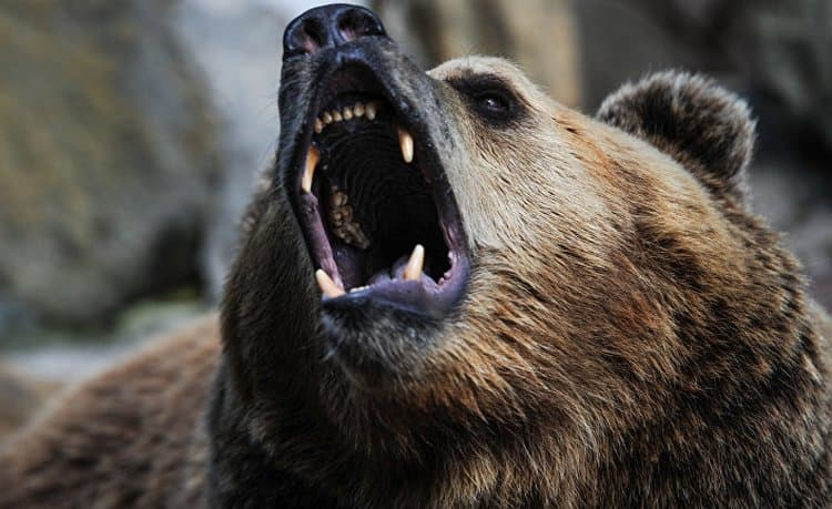 Узнайте, к чему снится нападающий медведь.