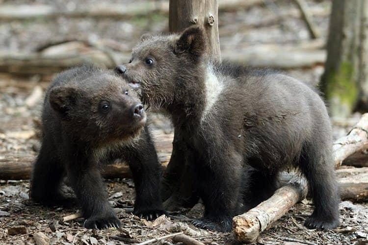 Узнайте, к чему снится медвежонок.