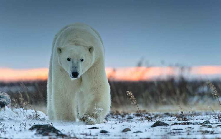 важно знать, к чему снится белый медведь.