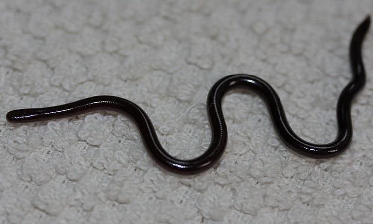 сонник черви белые или черные