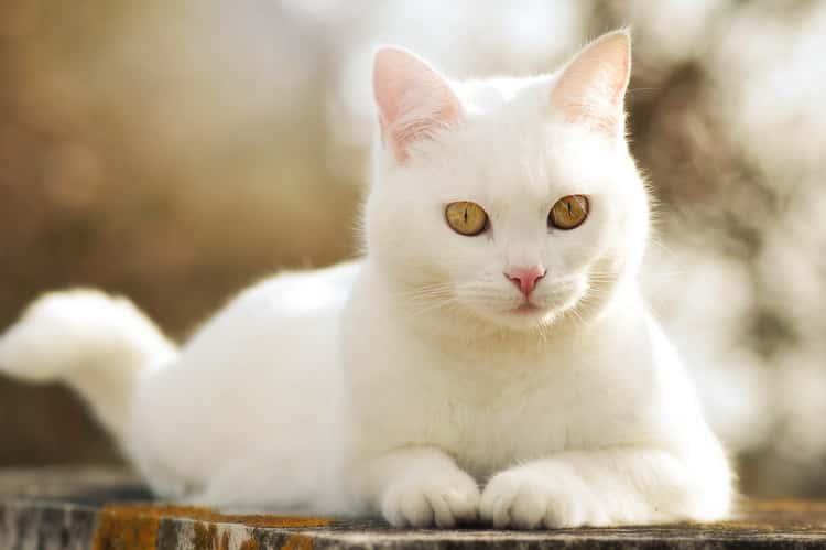 к чему снится кот