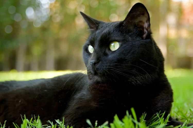 К чему снятся кошки, коты и котята: сонник