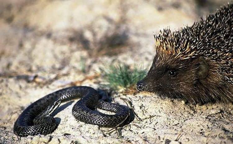 По соннику, если ежик во сне бьется со змеей, это значит, что вас поддерживают близкие.