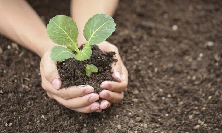 Может также присниться, что вы высаживаете рассаду капусты.
