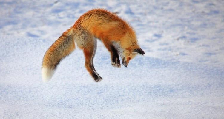 сонник лиса рыжая нападает