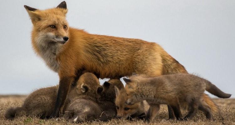к чему снится рыжая лиса и лисята