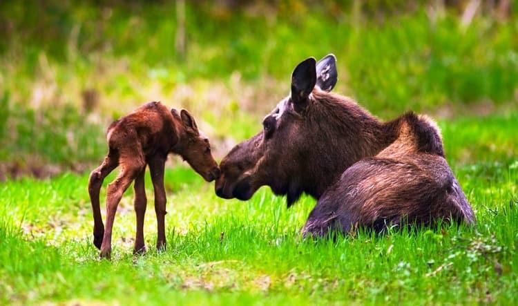 Добрым знаком считается приснившаяся лосиха с малышом.
