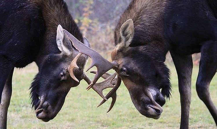 Узнайте, к чему снится лось с большими рогами.