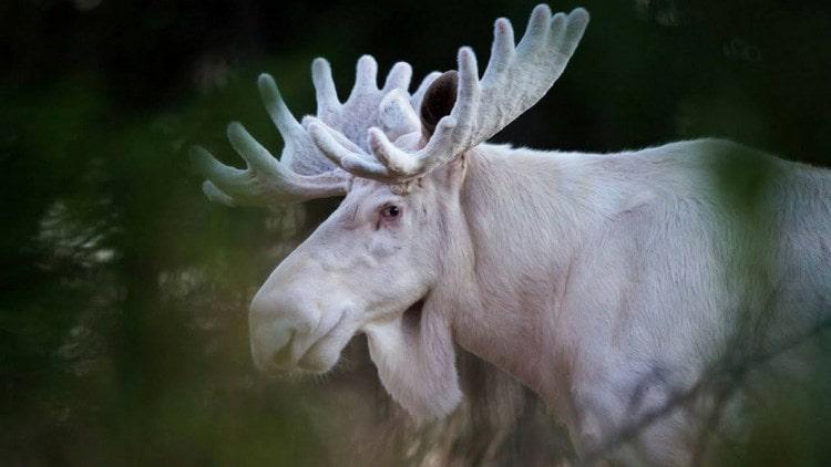 По соннику белый лось с рогами это очень хорошо.