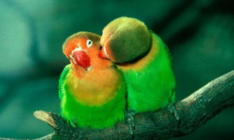 Узнайте, к чему снятся попугаи-неразлучники во сне.
