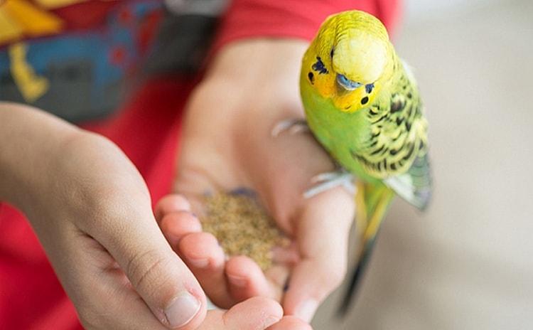 бывают также сны о том, что вы кормите попугайчиков.