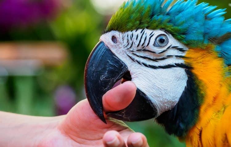 Узнайте, что означает, если во сне укусил попугай.