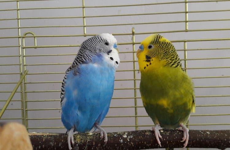 посмотрите в соннике, к чему снится волнистый попугай.