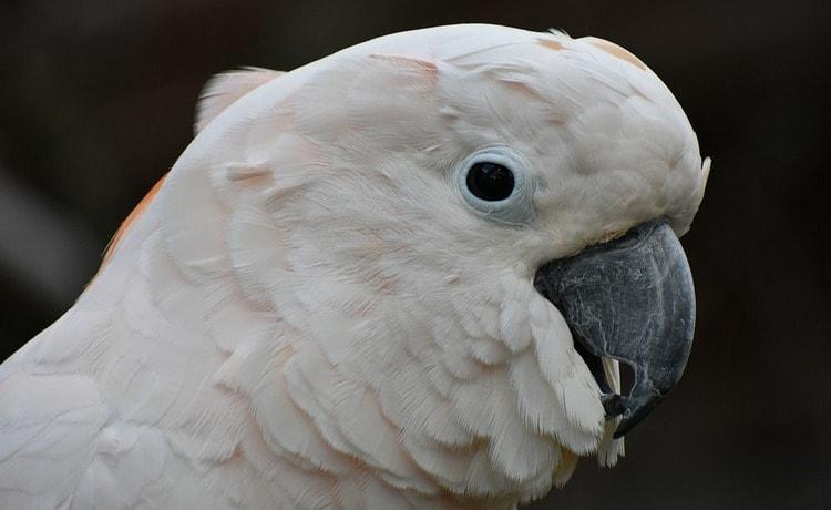 Посмотрите в соннике, к чему снится белый попугай.