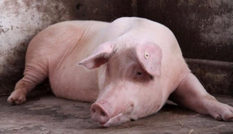 Сонник поможет понять, к чему снится свинья.