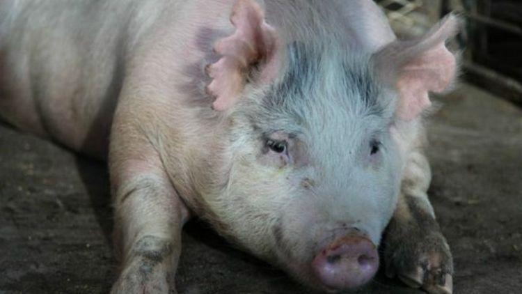 Узнайте, к чему снятся большие свиньи.