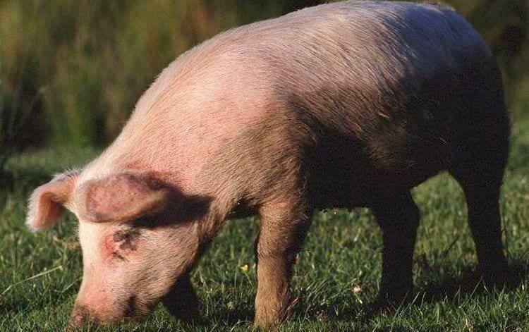 Сонник поможет узнать, к чему снится резать свинью.