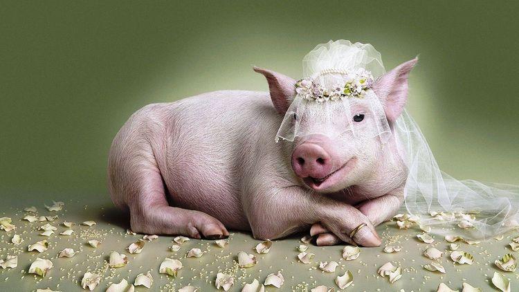 То, к чему снятся свиньи во сне женщине незамужней, знак хороший.