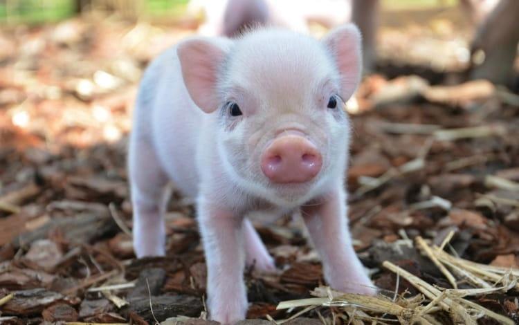 Узнайте, к чему снятся свиньи и поросята.