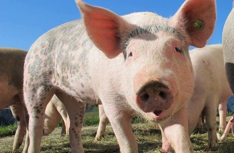 Сонник поможет узнать, к чему снится свинья живая.