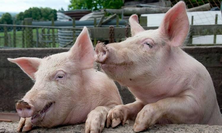 В соннике важно и то, свинья большая во сне или маленькая.