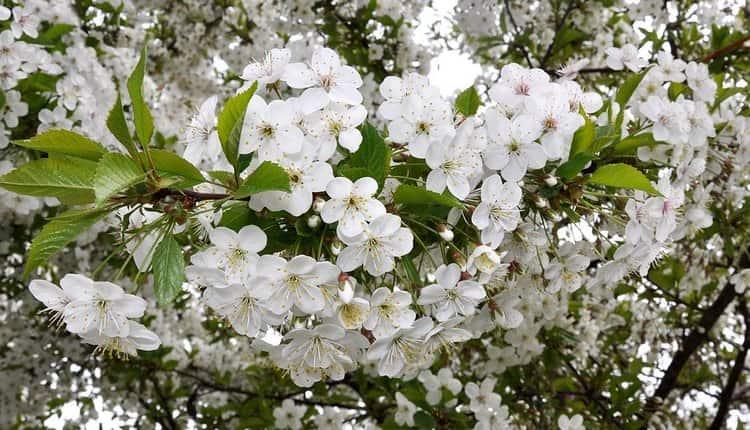 Видеть во сне вишню цветущую это очень хороший знак.
