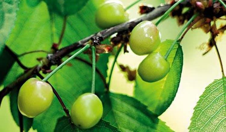 судя по соннику, еще зеленая вишня на дереве это хорошо.
