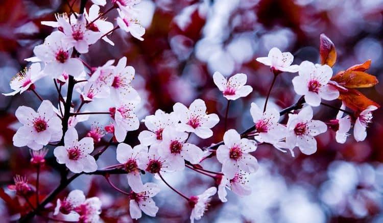 По соннику цветущая вишня означает только положительное и романтическое.
