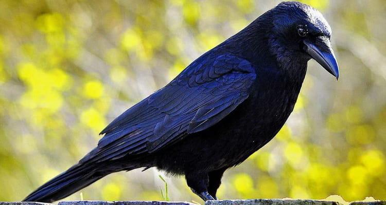 приснилась мертвая ворона