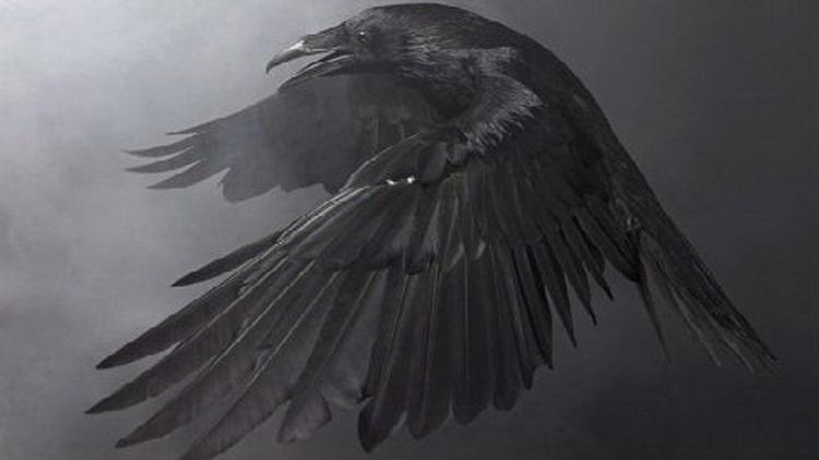 сонник ворона черная