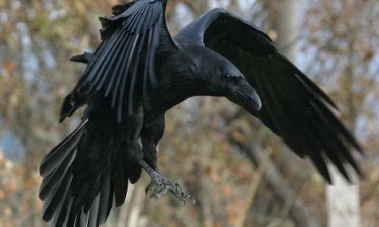 приснилась черная ворона